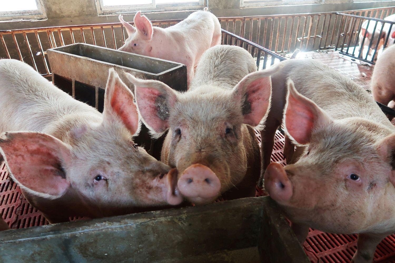 Ukrainos ūkiuose plinta kiaulių maras