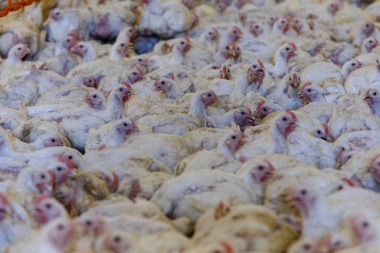 Lenkijos paukštininkai toliau plečiasi, būdų konkuruoti – nedaug