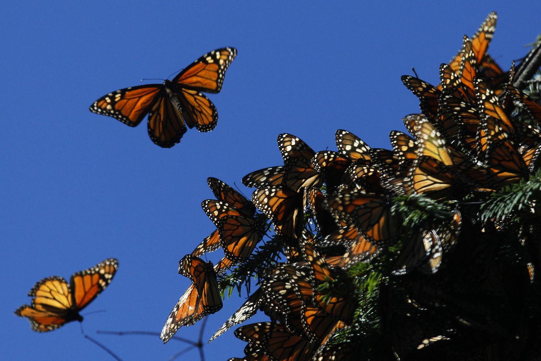 """""""Monsanto"""" ir kiti agrochemijos gigantai susirūpino dėl drugelių"""