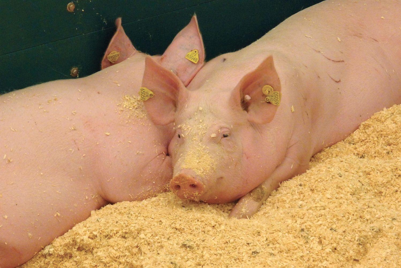 Viename didžiausių Latvijos kiaulininkystės ūkių – AKM protrūkis