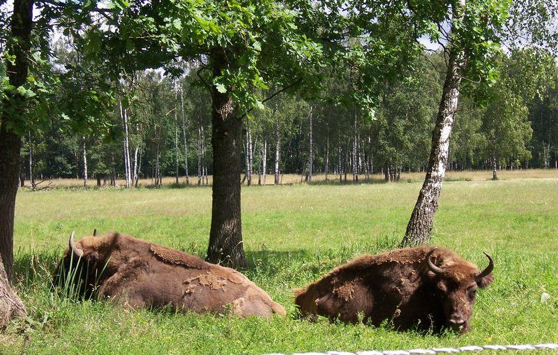 Šiuo metu laisvėje Kėdainių rajone gyvena apie 160, Panevėžio rajone – iki 60 stumbrų. Stumbrynuose gyvena apie 30 šių žvėrių. Virginijos Žygienės nuotr.