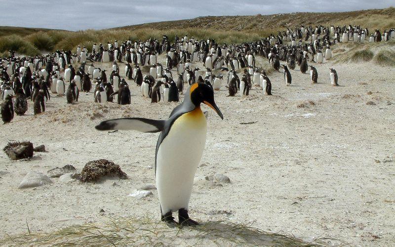 """Karališkasis pingvinas. """"Reuters"""" / """"Scanpix"""" nuotr."""