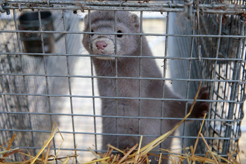Kailinių žvėrelių ūkiuose VMVT skaičiuoja pažeidimus