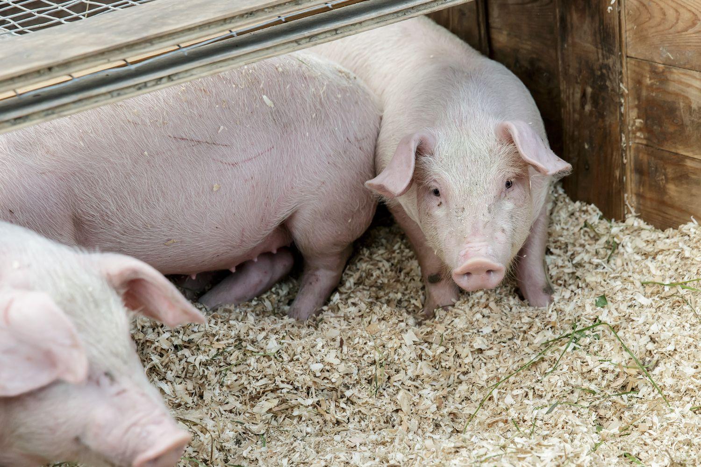 AKM grėsmei nemažėjant skiriamos išmokos už paskerstas kiaules