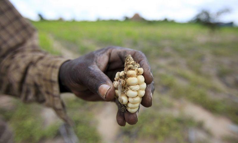 """Ūkininkas iš Zimbabvės rodo, koks skurdus kukurūzų derlius auga sausrų nualintoje jo dirvoje. Philimon Bulawayo (""""Reuters"""" / """"Scanpix"""") nuotr."""