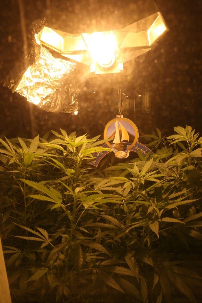 Į Kopenhagos biržą ateina marihuanos gamintoja