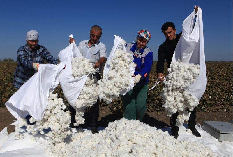 5653077 01.10.2018 Workers pour out harvested raw cotton at a farm field in Stavropol region, Russia, October 1, 2018. Š�otton growing has been well developed in southern regions of Russia 50 years ago and this year farmers started to harvest it again after a long break. Denis Abramov / Sputnik