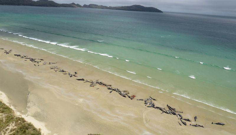 """Stiuarto salos paplūdimyje šį savaitgalį žuvo 145 ilgapelekės grindos. """"Reuters"""" / """"Scanpix"""" nuotr."""
