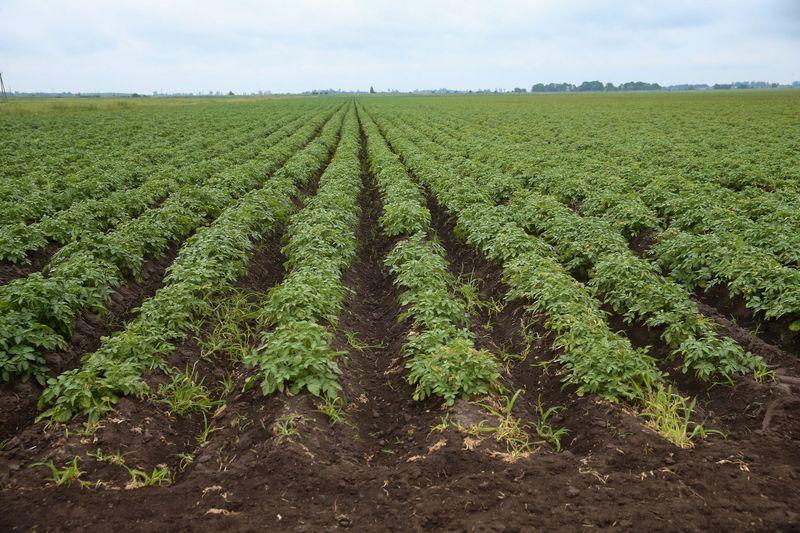 Bulvių laukai. Vladimiro Ivanovo (VŽ) nuotr.