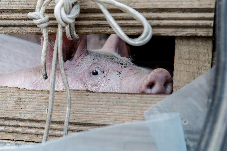 Lenkijai nutraukus lietuviškos kiaulienos importą, ŽŪM kreipsis į EK