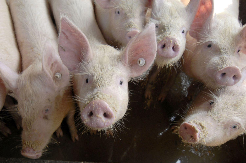 AKM nesitraukia iš Kinijos: sutriko prekyba, jau sunaikinta 200.000 kiaulių