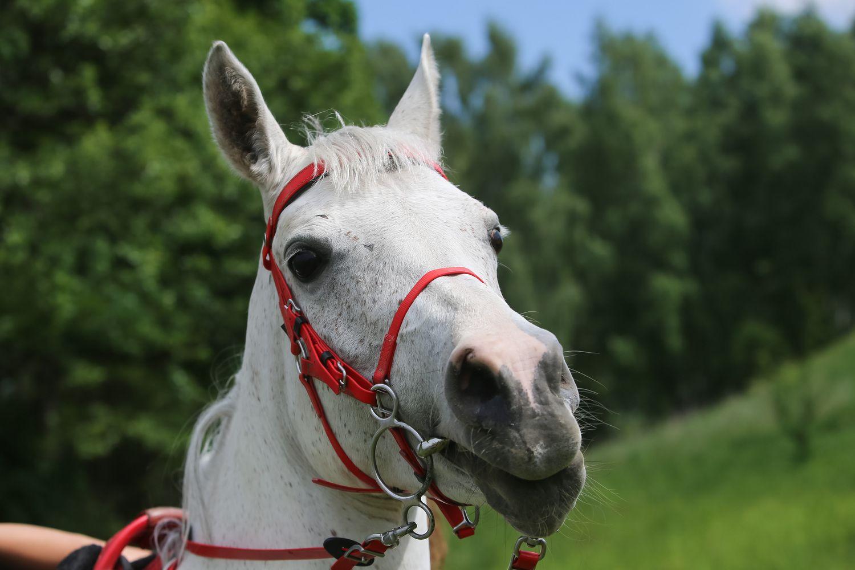 Lietuvai leista eksportuoti arklius į Japoniją