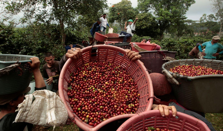 60% pasaulio kavamedžių rūšių gresia išnykimas