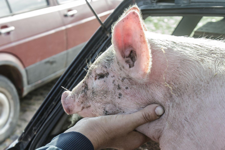 G. Surplys: kitą savaitę Lietuvai bus sugrąžintas leidimas eksportuoti kiaules į Lenkiją