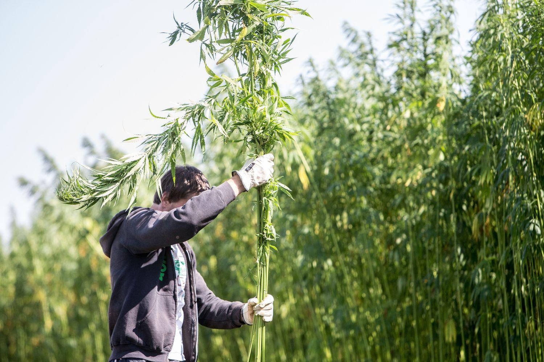 Jei ūkininkas iš kanapių suriš vantą, jis-jau narkotikų platintojas