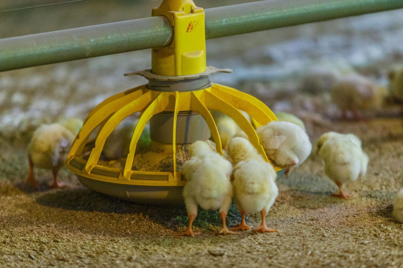 """""""KG Group"""" į paukštidžių atnaujinimą šiemet investuos beveik 1,9 mln. Eur"""