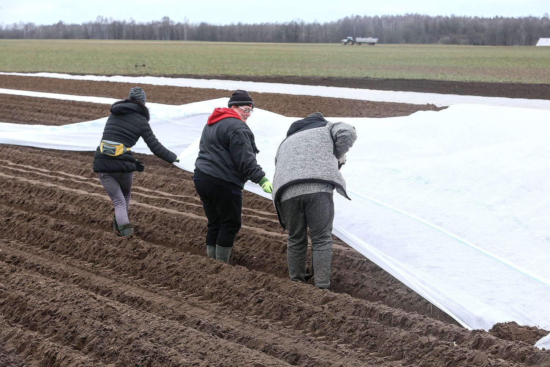 Aprimusi grūdų rinka laukia rekordinio derliaus