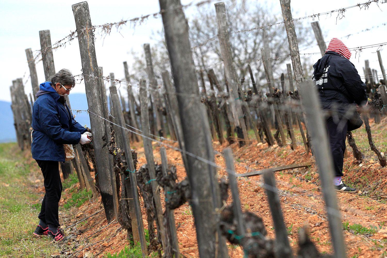Vynuogynai pasiryžę kovoti su klimato kaita