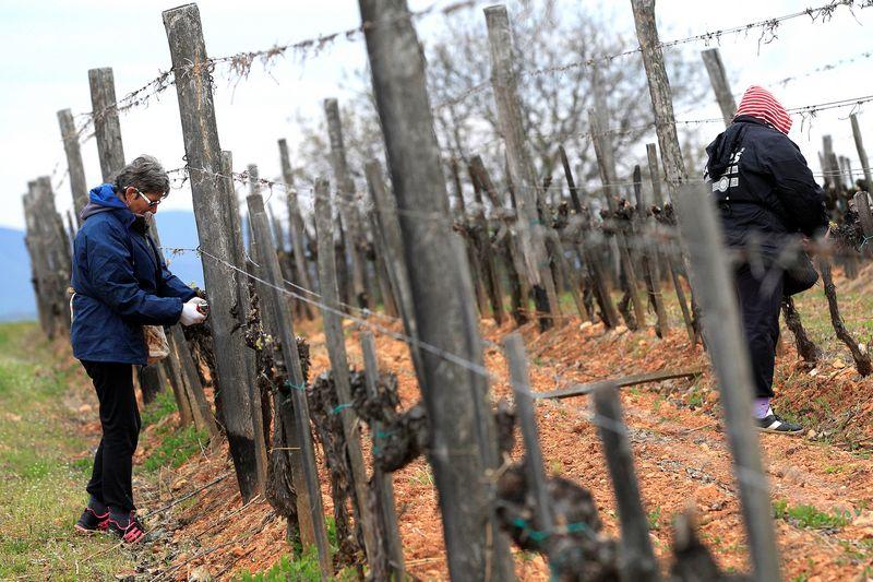 """Vynuogynai gali tapti pagrindiniu sąjungininku kovoje su klimato kaita. Bernadettės Szabo (""""Reuters"""" / """"Scanpix"""") nuotr."""