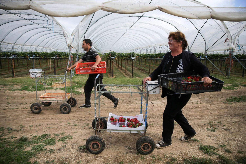 Augintojų mūšis dėl braškių skynėjų: JK uogos gali būti paliktos pūti