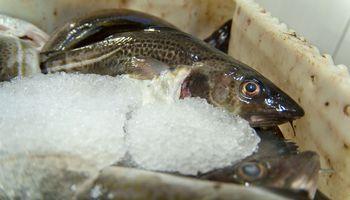 Baltijos jūroje žvejoti menkes šiemet draudžiama ilgiau