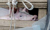 Patvirtintas pirmas šiemet kiaulių maro protrūkis ūkyje