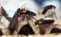 Tarakonai evoliucionuoja greičiau už nuodus jiems naikinti