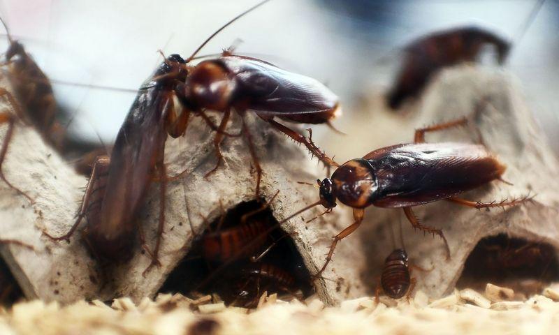 """Mokslininkai sako, kad chemikalai kovoje su tarakonais labai greitai gali tapti visiškai neveiksmingi. Anne-Christine Poujoulat (AFP/""""Scanpix"""") nuotr."""