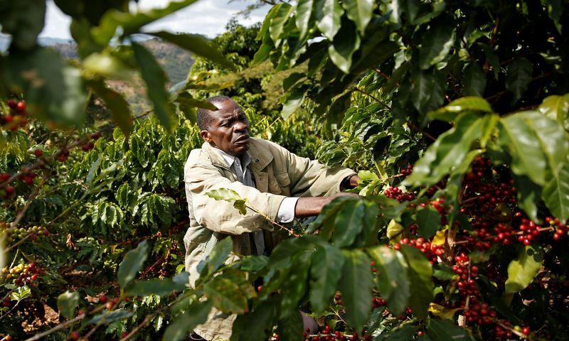 """Nors pasaulinę kavos pasiūlą augina didėjantis našumas, didžiąją dalį produkcijos vis dar užaugina smulkūs ūkininkai. Philimono Bulawayo (""""Reuters"""" / """"Scanpix"""") nuotr."""