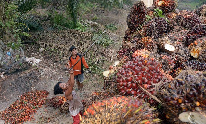 """Palmių vaisių, iš kurių spaudžiamas aliejus, rinkėjai Indonezijoje, Sumatros saloje. Adeko Berry / (AFP / """"Scanpix"""") nuotr."""