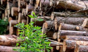 Aukcione medienos kaina mažėjo vidutiniškai 22%