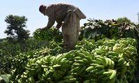 Dėl bananus naikinančios ligos Kolumbijoje paskelbta nepaprastoji padėtis