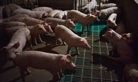 100 mln. kiaulių praradusi Kinija svarsto apie šaldytos kiaulienos atsargų realizaciją