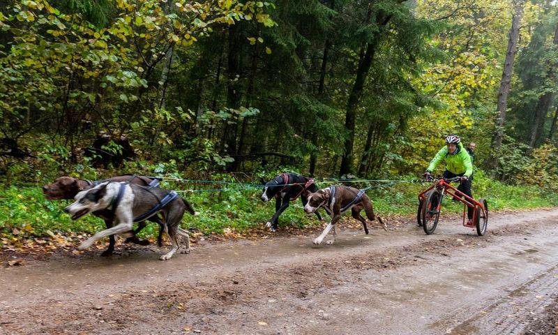 Europietiški kinkomi šunys prieš maždaug 30 metų buvo išveisti specialiai kinkinių lenktynėms. Šiuo metu Daujotai ruošiasi Pasaulio čempionatui Švedijoje. Juditos grigelytės (VŽ) Nuotr.