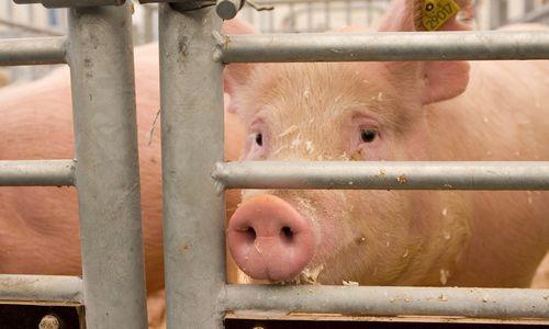 Įsisiautėjęs maras sąlygas kiaulienos rinkoje diktuos dar bent kelerius metus