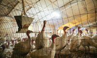 VMVT perspėja: Lenkijoje užfiksuotas paukščių gripo atvejis