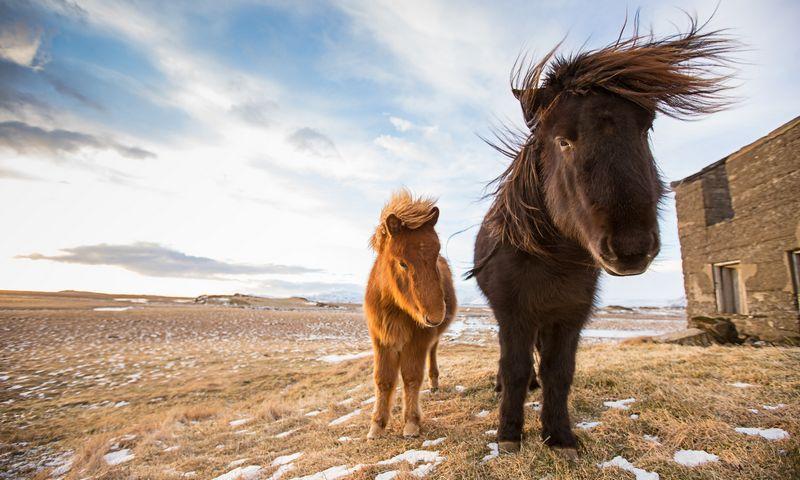 """Islandiški arkliukai išlaikė savo veislę 800 metų ir yra labai saugomi. """"Matton"""" nuotr."""