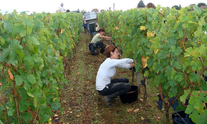 Vynuogių rinkėjai Bordo regione. Jolantos Smičienės nuotr.