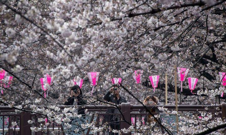 Japonijoje šįmetžadamas darankstyvesnis sakurų žydėjimas