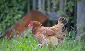 Europai baiminantis naujo paukščių gripo protrūkio, virusas aptiktas Čekijoje
