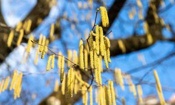 Sausį prasidėjęs žydėjimas žada alergijų riziką