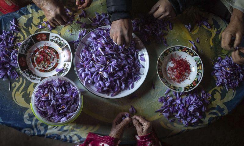 """Kad gautum apie 30 g šafrano miltelių, reikia nuskinti maždaug 4.000 daržinių krokų žiedų ir iš kiekvieno išskabyti oranžines purkeles. Mosa'ab Elshamy (""""AP Photo""""/""""Scanpix"""") nuotr."""