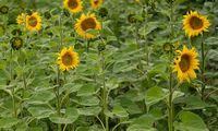 Kaip koronavirusas paveiks žemės ūkį?