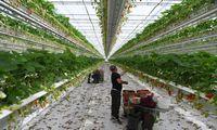 Į Europos ūkius nebeatvyksta sezoniniai darbuotojai – ragina gyventojus vykti į kaimus