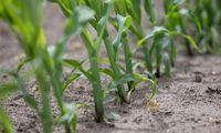 Ukraina per Klaipėdą kasmet eksportuos 0,5 mln. t kukurūzų