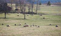 Sumažėjus galvijų ūkininkai privalės parduotižemės perteklių