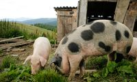 Latvijoje patvirtintas afrikinio kiaulių maro protrūkis