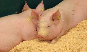 Kiaulių marasplinta Europoje – pasiekė Slovakiją