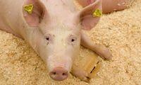 Lietuvos specialistams kelia nerimą afrikinio kiaulių maro protrūkiai Latvijoje