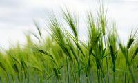 Orai karpo grūdų derliaus prognozes, pandemija – vartojimą